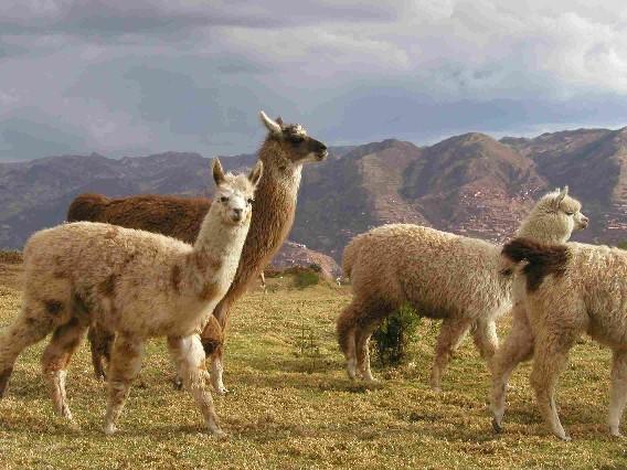 Cuzco75Lamas3.jpg